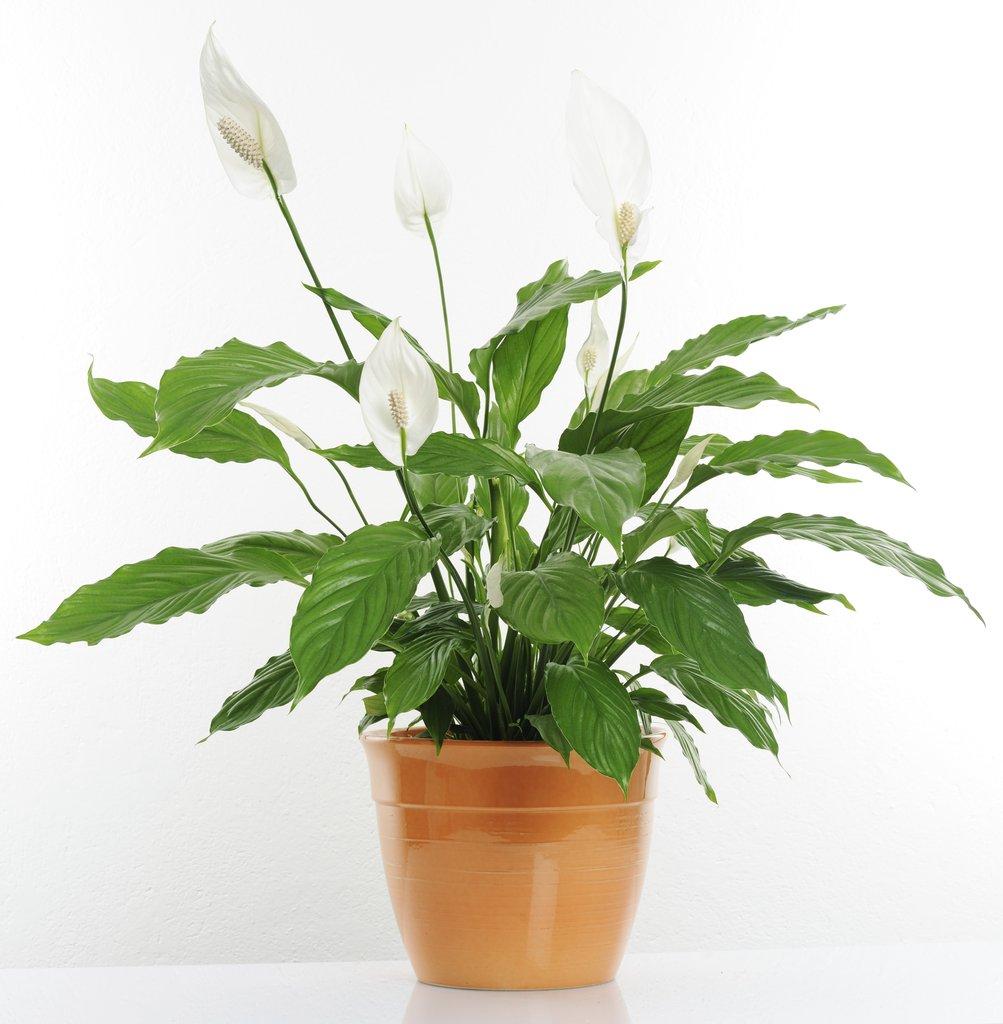 Spathiphyllum cultiver et rempoter ooreka for Plante interieur
