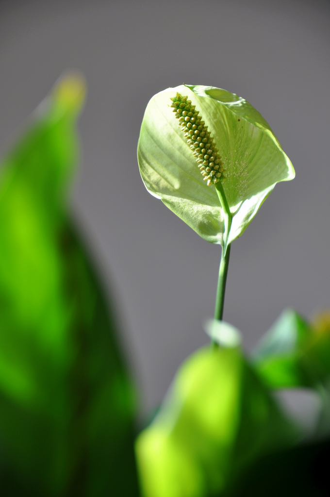 Spathiphyllum cultiver et rempoter ooreka - Grande plante d interieur facile d entretien ...