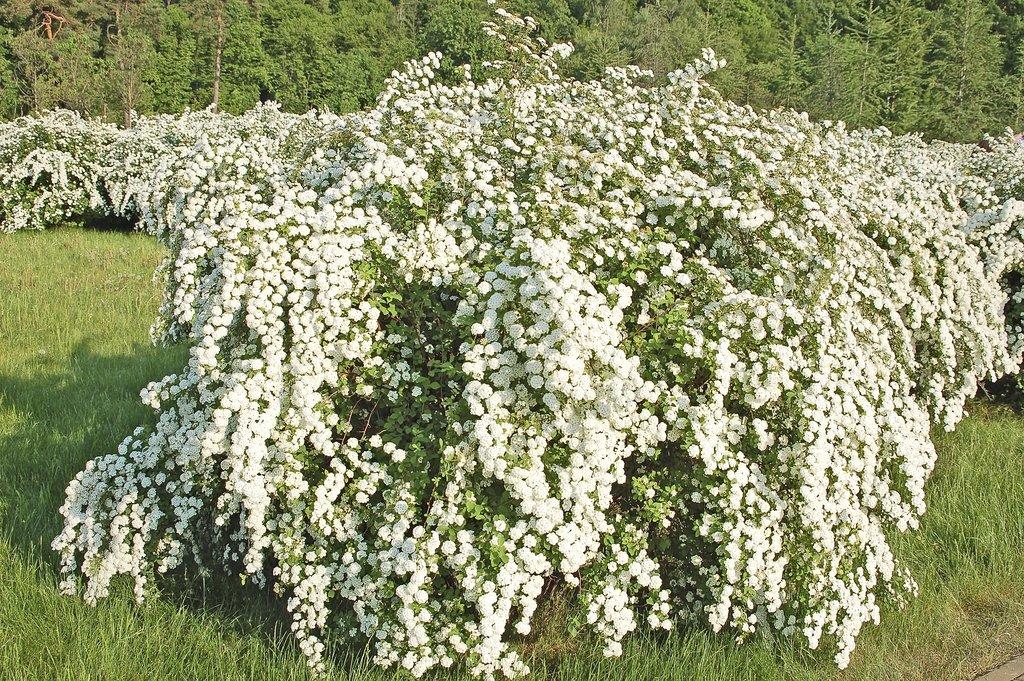 Fleurs roses : Liste de fleurs, plantes, arbustes et