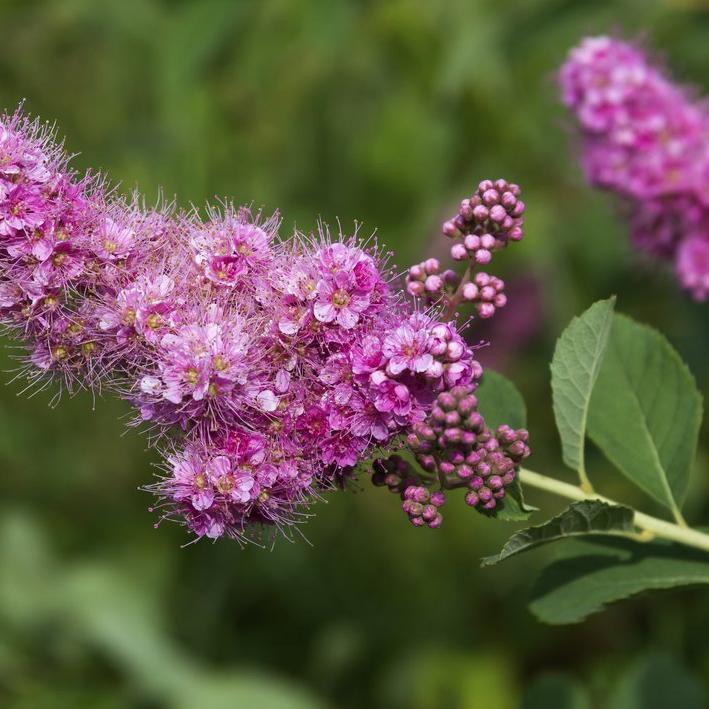 Floraison estivale Spirée à feuilles de saule (Spiræa x pseudosalicifolia)