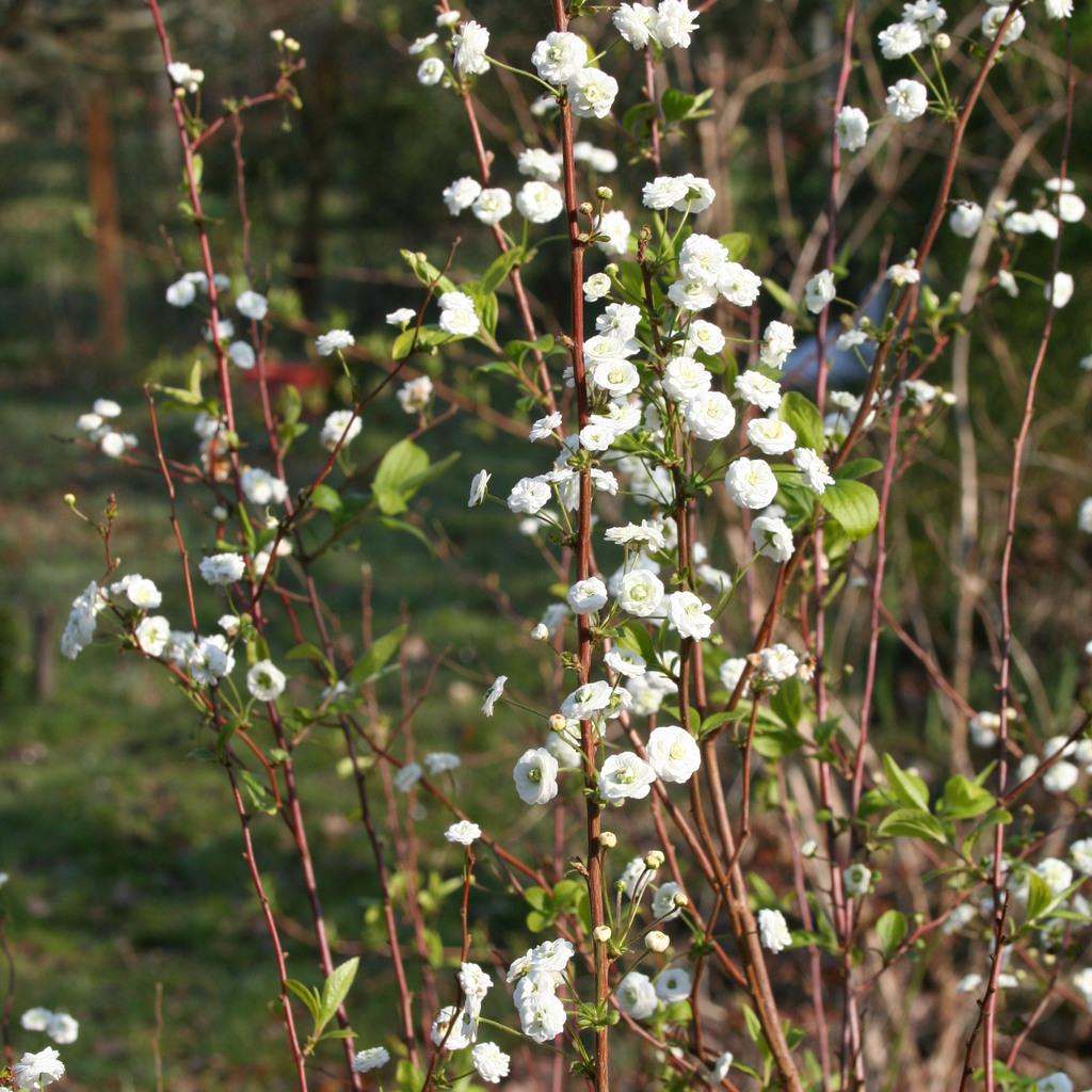 Floraison printanière Spiræa prunifolia