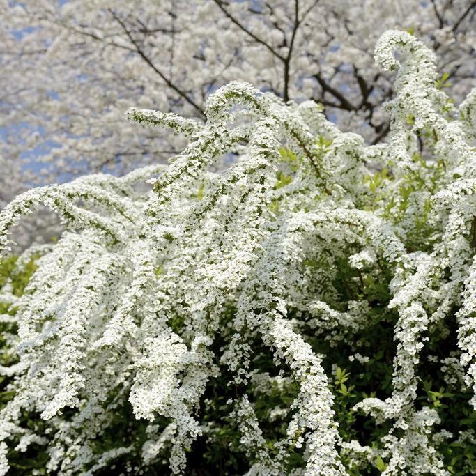 Floraison printanière Spirée dentelée 'Arguta'