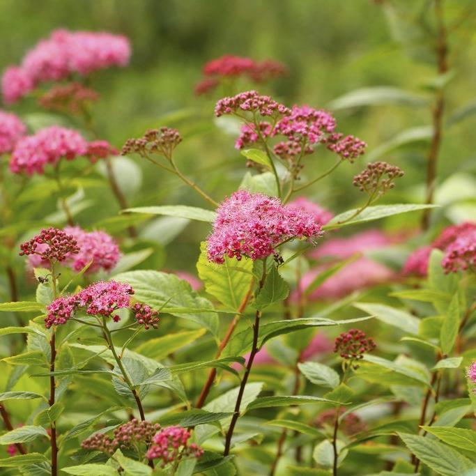 Floraison estivale Spirée du Japon 'Anthony Waterer'