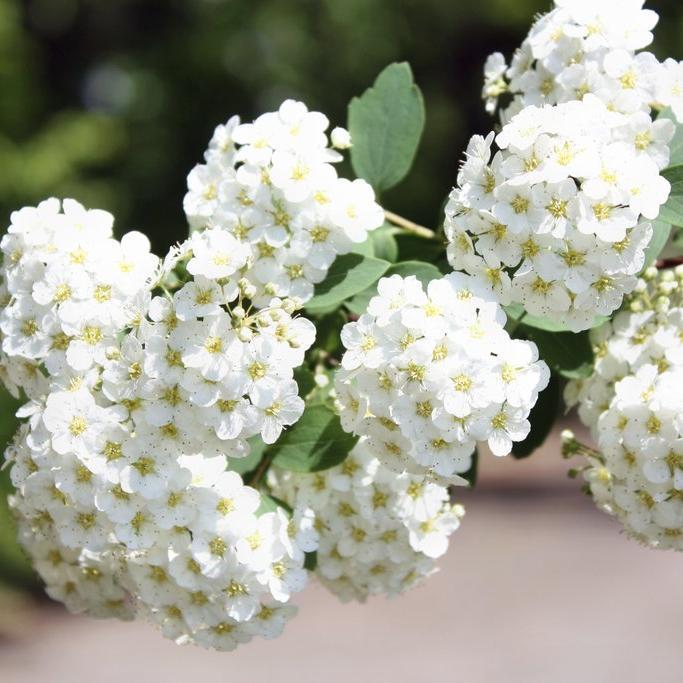 Floraison estivale Spirée du Japon (Spiræa japonica)