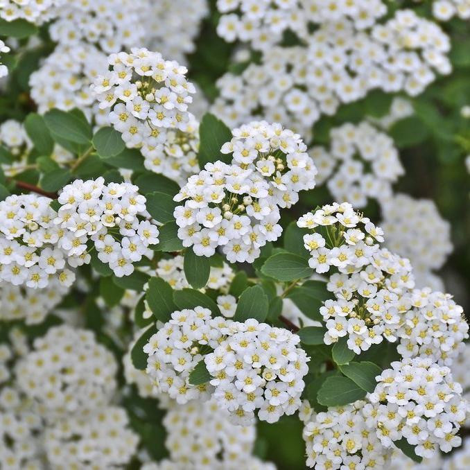 Floraison printanière Spirée de Van Houtte (Spiræa x vanhouttei)