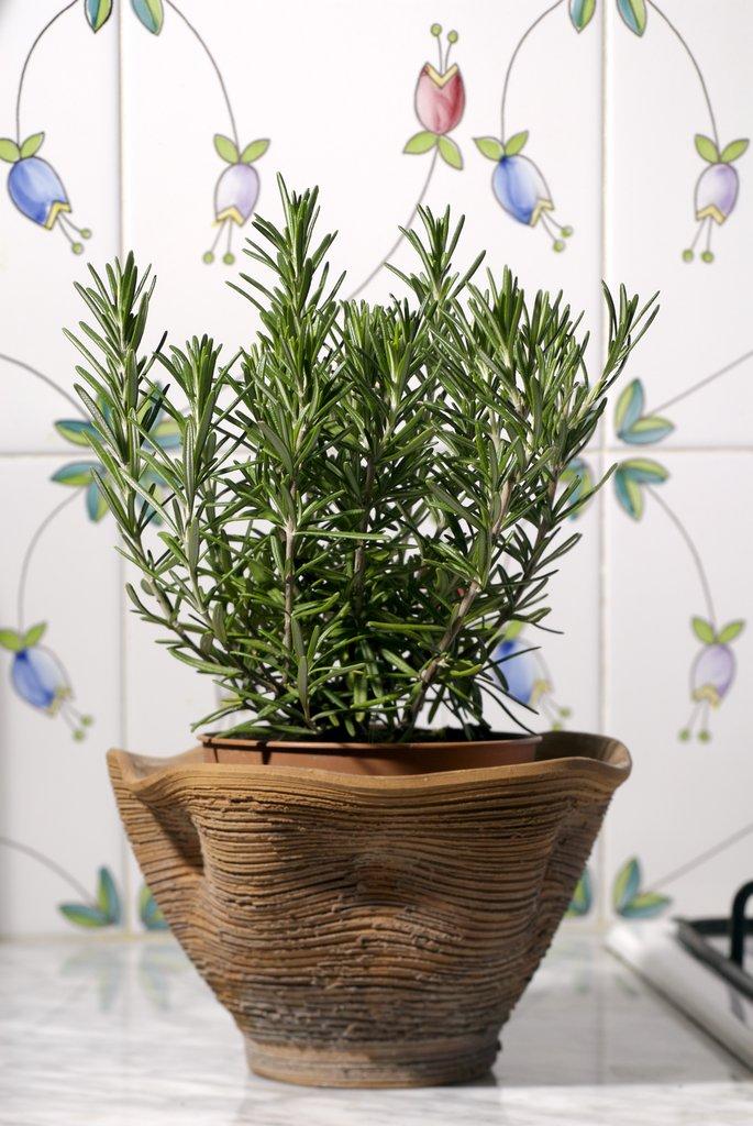 Romarin planter et tailler ooreka - Planter herbes aromatiques en pot ...