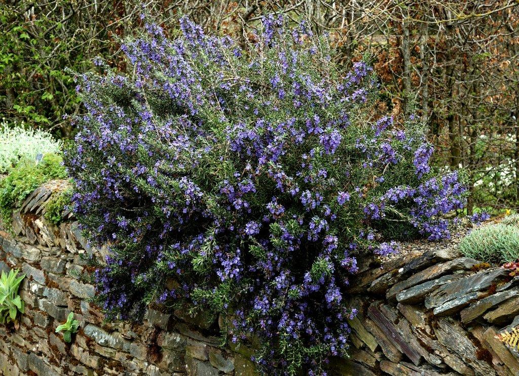 romarin : planter et tailler – ooreka