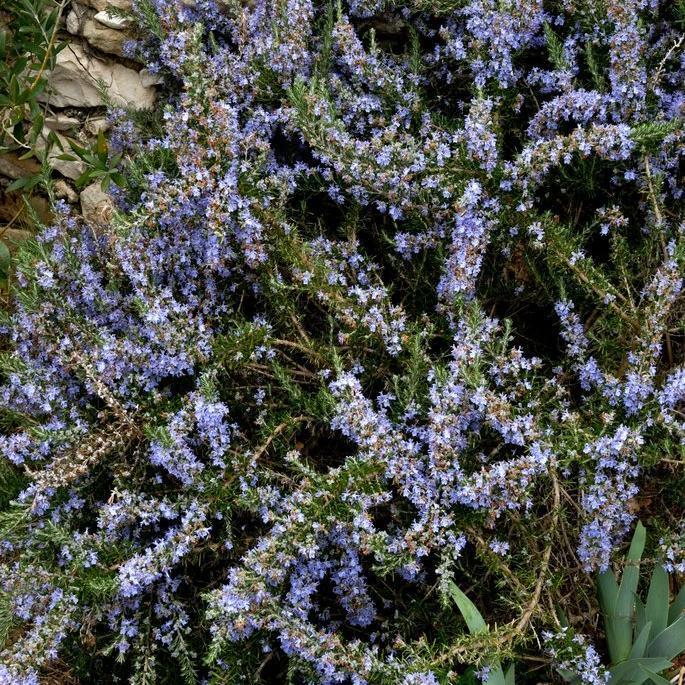 Romarin officinal (Rosmarinus officinalis) 'Baie d'Audierne'