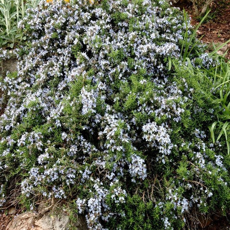 Romarin officinal (Rosmarinus officinalis) 'Prostatus'