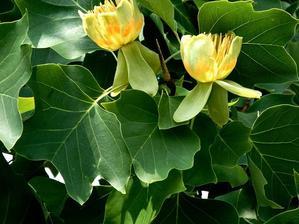Culture et entretien du tulipier