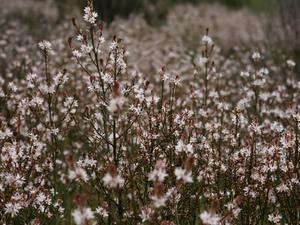 Plantation de l'asphodèle