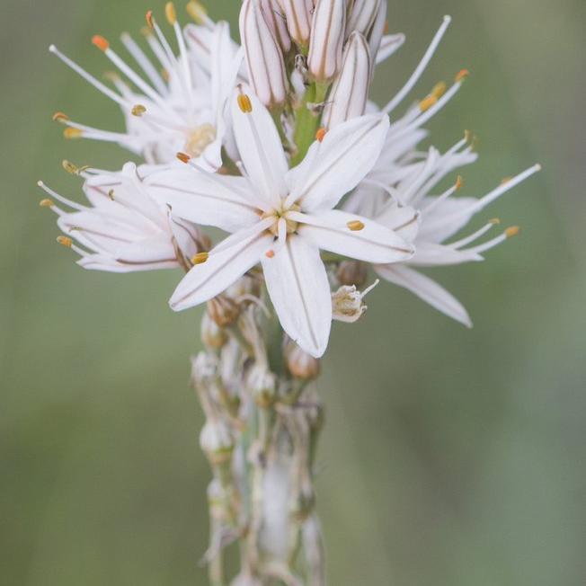 Asphodelus Asphodèle d'été (Asphodelis aestivus)