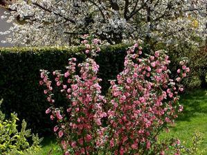 Culture et entretien du groseillier à fleurs
