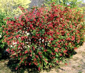Multiplication du groseillier à fleurs