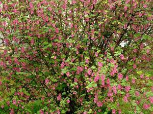 Plantation dugroseillier à fleurs