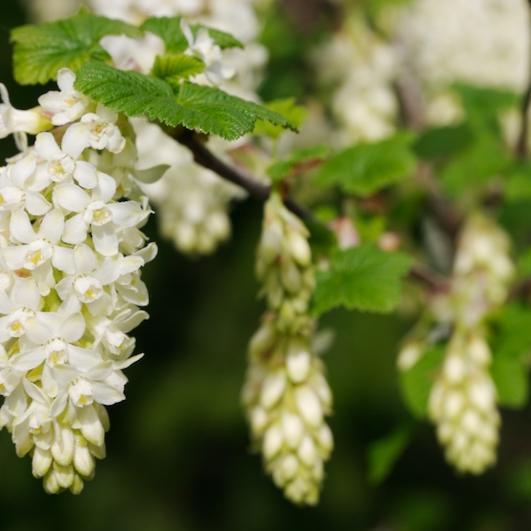 Ribes sanguineum 'Tydeman's White'
