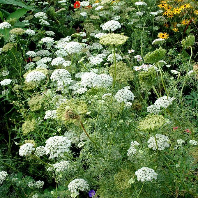 Ammi planter et cultiver ooreka - Comment passer en floraison ...