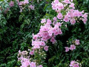 Plantation de la bignone rose