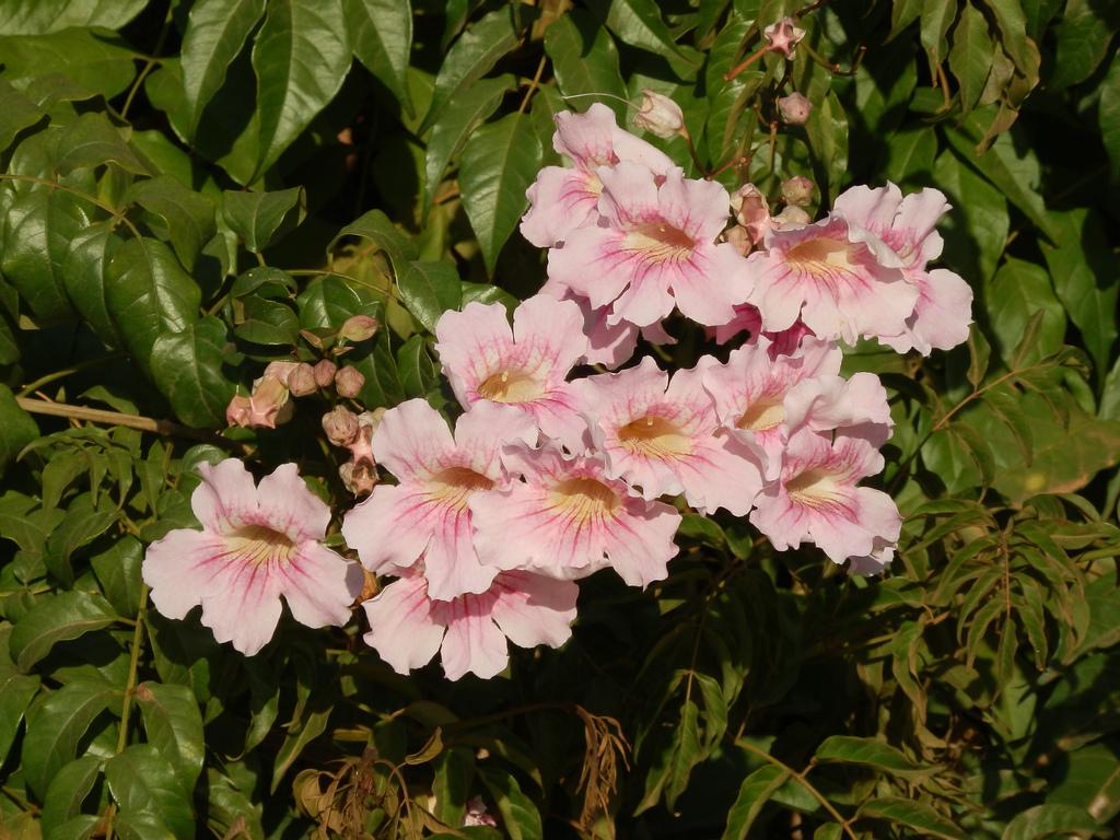 Bignone rose planter et entretenir ooreka - Plante a fleurs roses ...