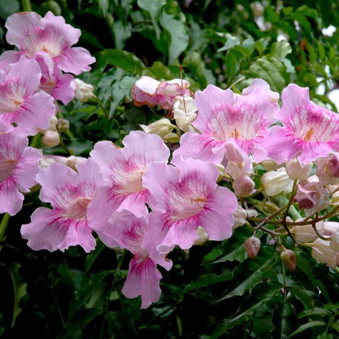 Espèces de Podranea Bignone rose, John's creeper (Podranea ricasoliana, syn. Pandorea rosea, Tecoma rosea, Bignonia rosea)