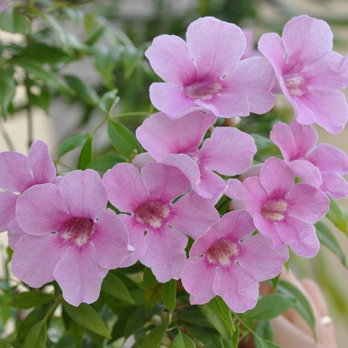 Autres genres proches Pandorea jasminoides