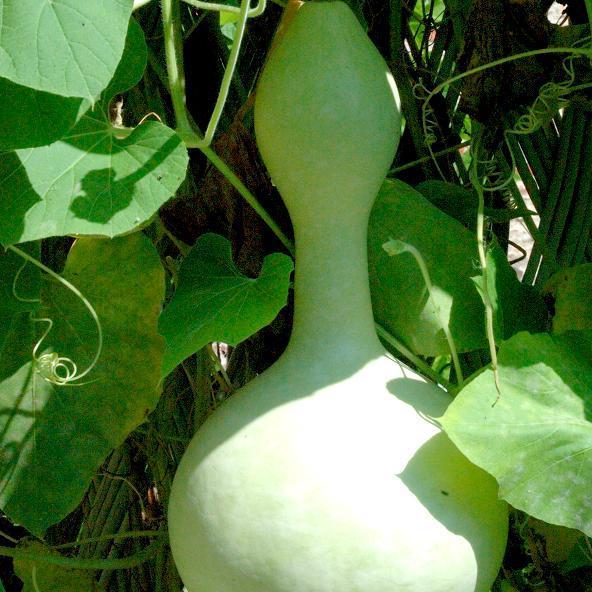 Calebasse gourde (Lagenaria siceraria) Espèce type