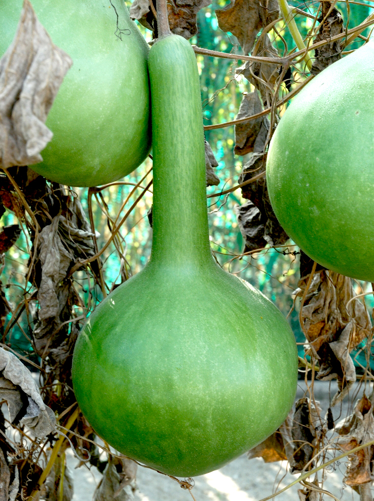 Calebasse planter et cultiver ooreka for Ou acheter des plantes