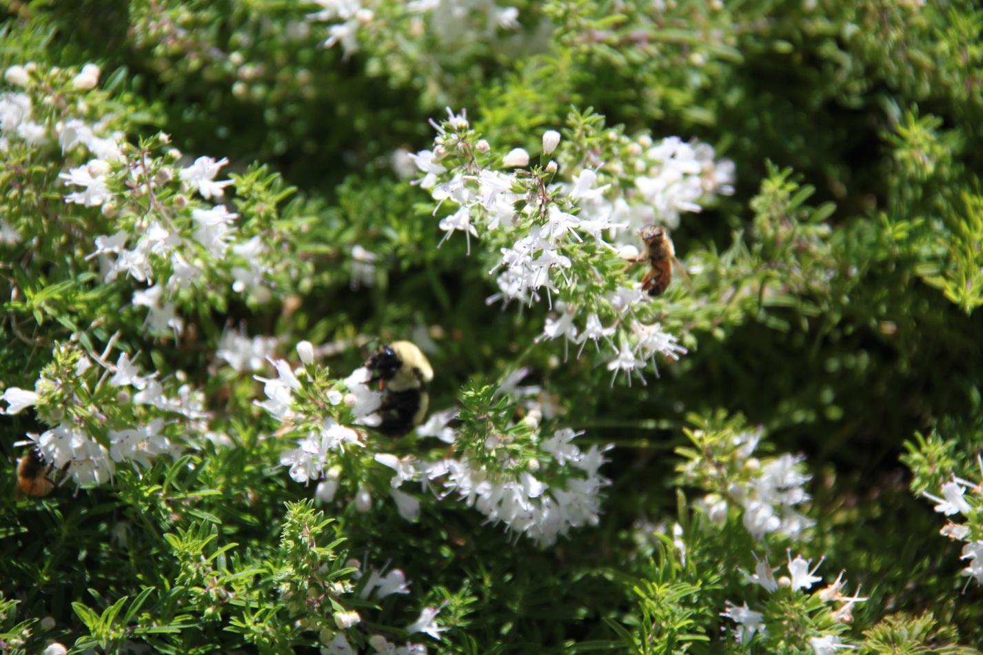 Sarriette planter et cultiver ooreka for Plante odorante