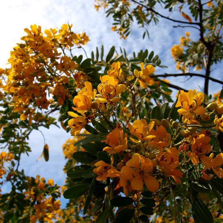 Espèces de collection Senna candolleana (syn. Cassia closiana)
