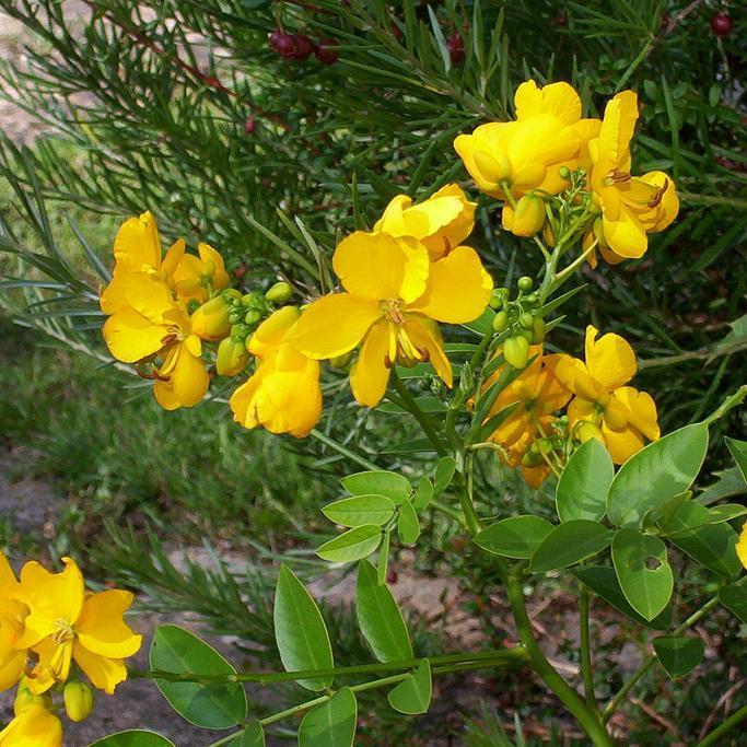 Espèces communes Senna x floribunda (syn. Cassia corymbosaHORT.,Cassia obtusaHORT.,Cassiax floribunda)