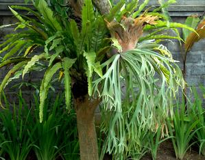 Plantation de <em>Platycerium</em>