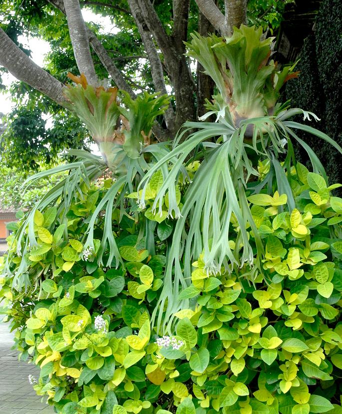 platycerium planter et entretenir ooreka