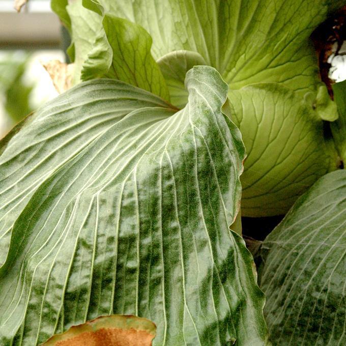 Espèces rares Platycerium superbum (syn. P. grande)