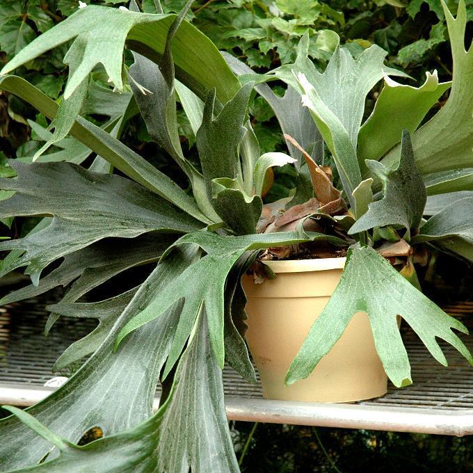 Espèce courante Corne de cerf, corne d'élan (Platycerium bifurcatum)