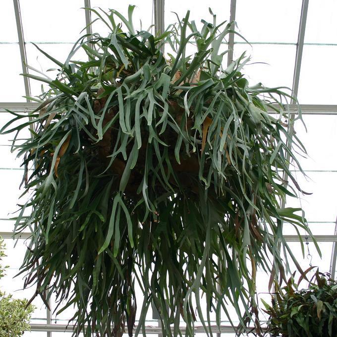 Espèces rares Platycerium willinckii (P. bifurcatum sp. willinckii)