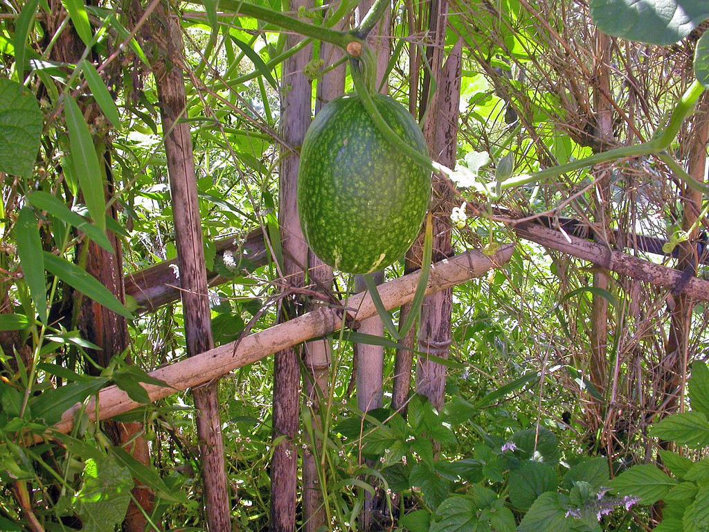 Courge de siam cultiver et r colter ooreka - Faire pousser des courgettes verticalement ...