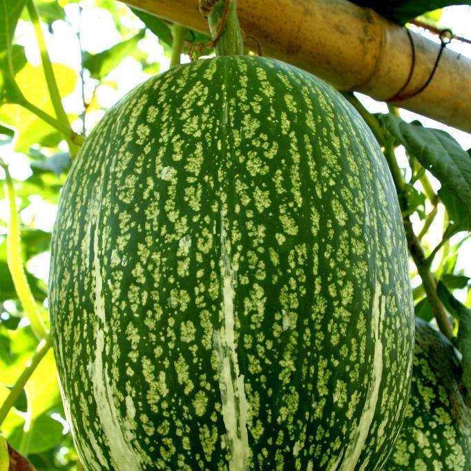 Courge de Siam (Cucurbita ficifolia)