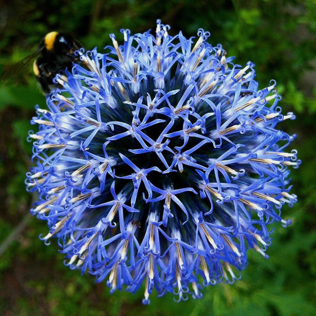 Echinops bannaticus 'Taplow Blue'