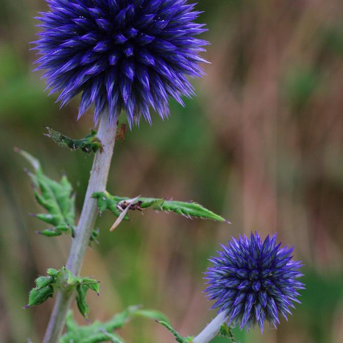 Boule azurée, boulette azurée, échinope boule azurée (Echinops ritro) 'Veitch's Blue'