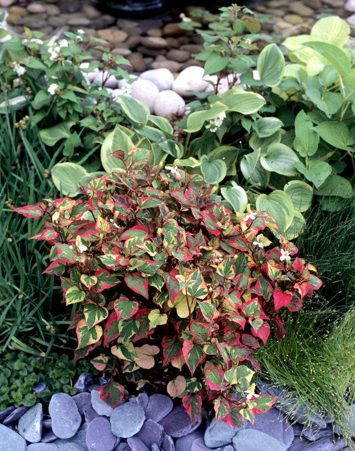 Houttuynia planter et cultiver ooreka for Solde plante jardin