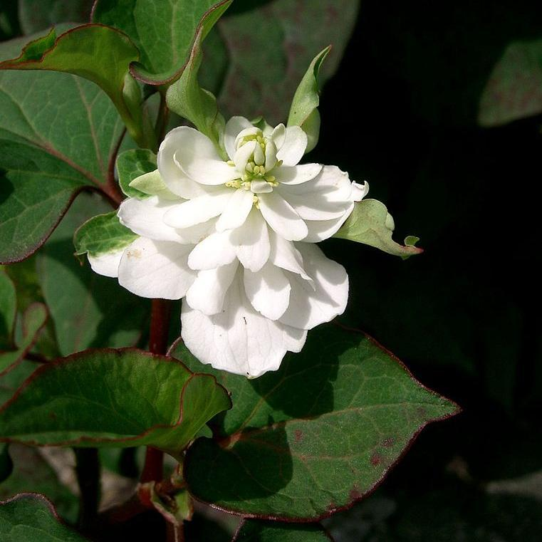 Houttuynia cordata 'Plena' ou Houttuynia à fleurs doubles