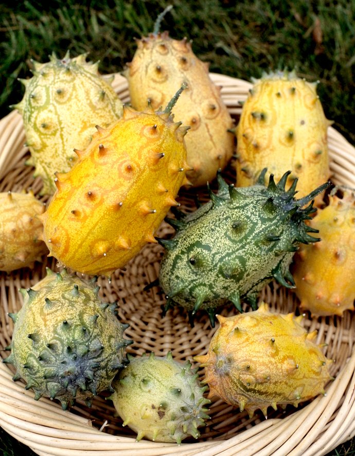 Kiwano planter et cultiver ooreka for Plante 60 80