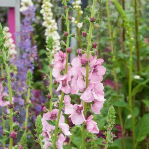 Cultivars 'Pink Domino'