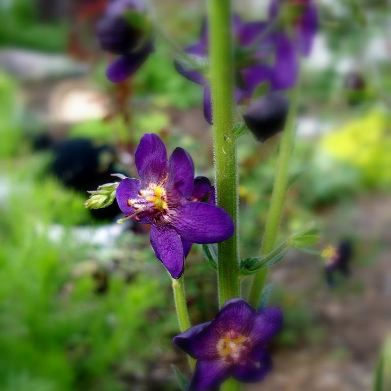 Espèces Molène de Phénicie (Verbascum phoeniceum)