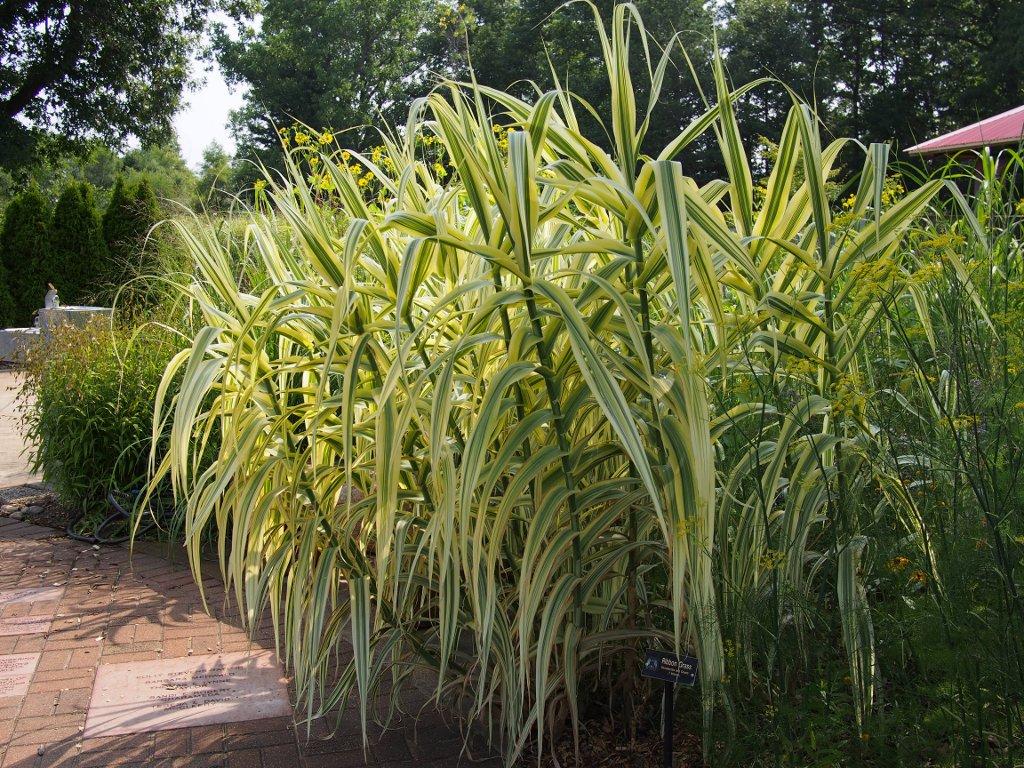 Phalaris planter et cultiver ooreka for Tall grasses for pots