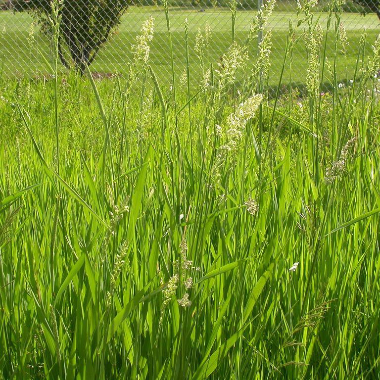 Phalaris arundinacea 'Pure Gold'