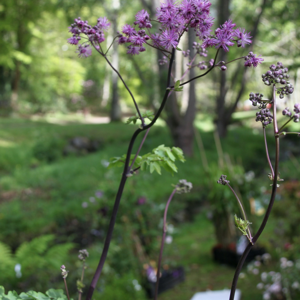 Thalictrum 'Black stocking'