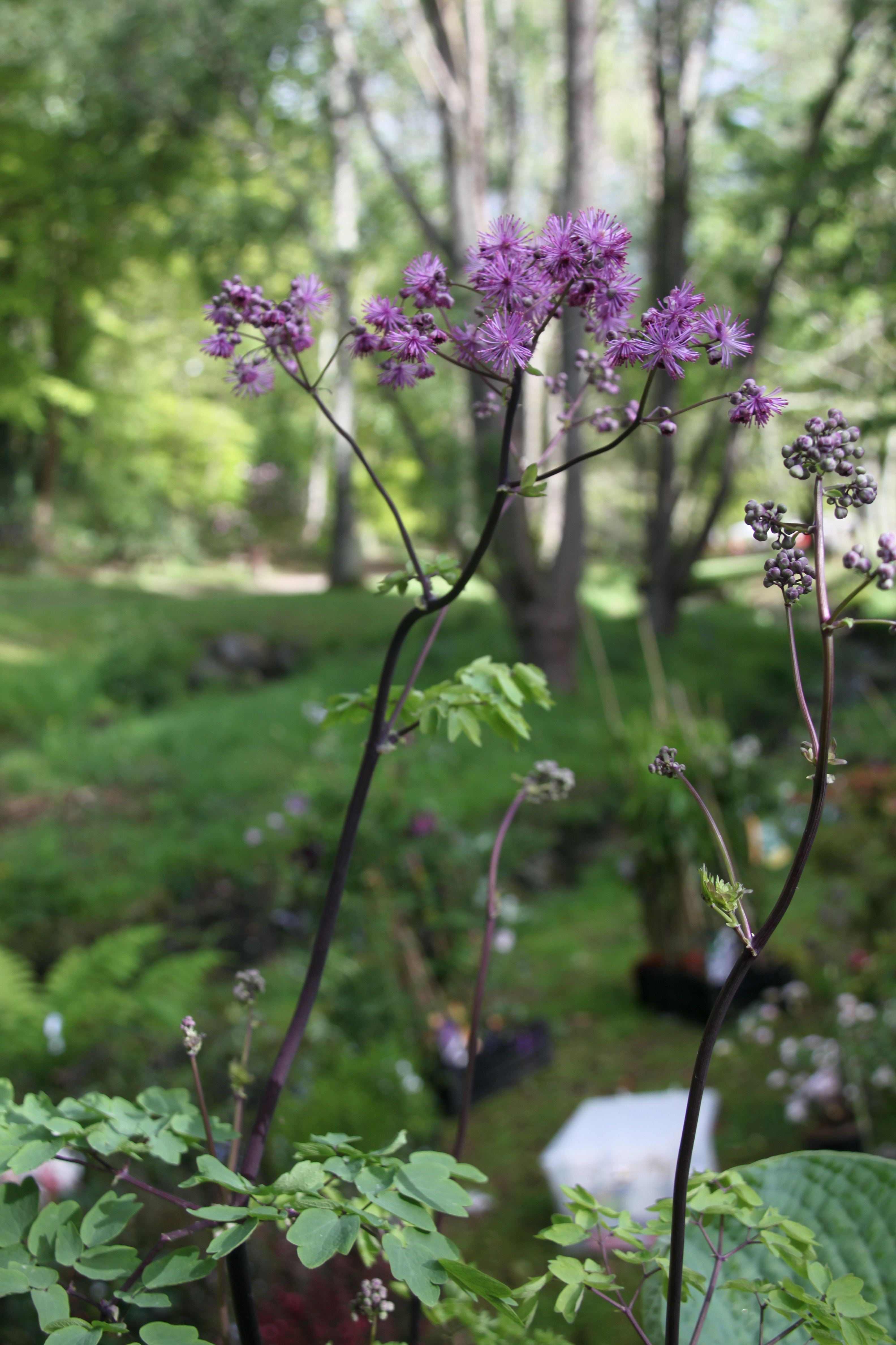 Pigamon planter et cultiver ooreka for Vivace floraison hivernale