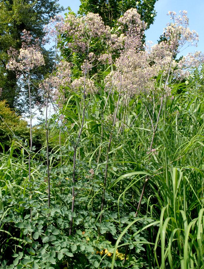 Pigamon planter et cultiver ooreka for Tous les plantes
