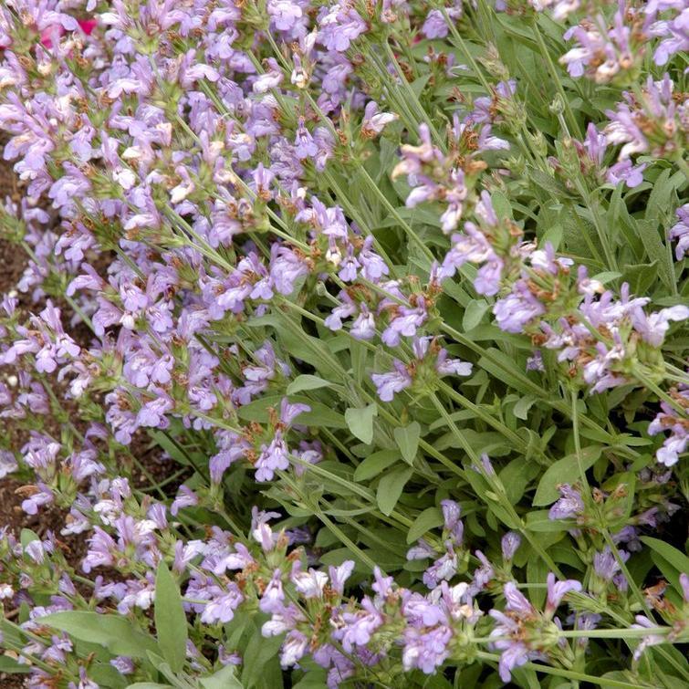 Sauge à feuilles de lavande (Salvia lavandulifolia)